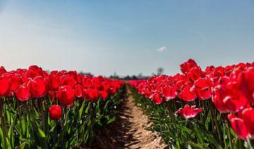 Close-up van een tulpenveld in bloei 3