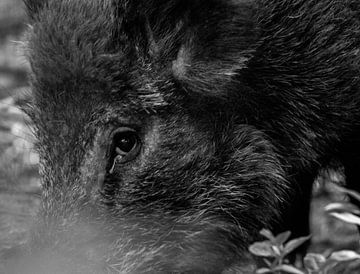 Wildschwein Nahaufnahme von Veerle de Koning