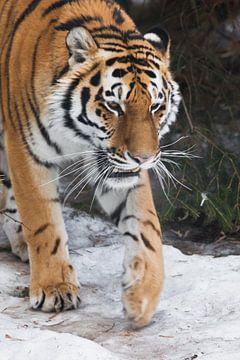 Tigre de Sibérie (Amur tiger) sur fond de sapins en gros plan hivernal, visage puissant d'un grand e sur Michael Semenov