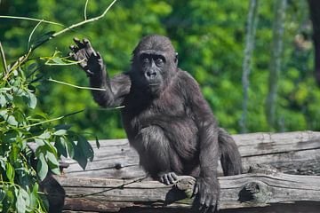 Ein süßer Gorilla im Teenageralter sitzt auf einem Baum und hat Blätter, ein trauriges, nachdenklich von Michael Semenov