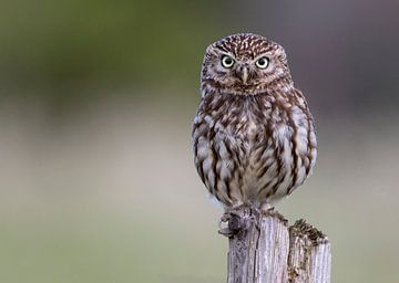Steenuil / little owl van Dennis Stronks
