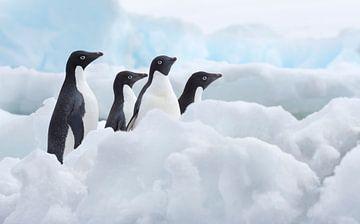 Klein groepje Adelie pinguins (Pygoscelis adeliae) op het ijs op de Zuidpool van Nature in Stock