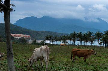 Weidende Kühe an der Ostküste Taiwans mit den Bergen im Hintergrund von Michiel Dros
