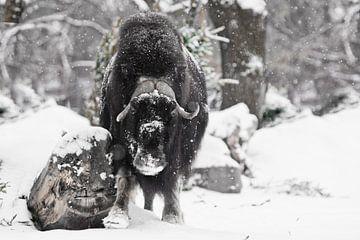Mächtig gehörnter Stier unter schwerem Schnee im Wald. Eisgehörnte polare Reliquie des eiszeitlichen von Michael Semenov