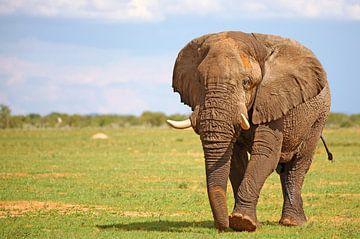 Männlicher Elefant, Etosha, Namibia von W. Woyke