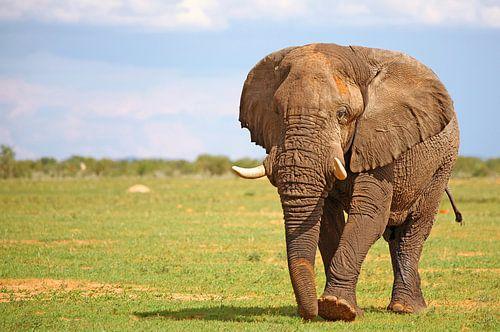male african elephant, Loxodonta africana van