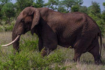Elefant von Rolf Linnemeijer