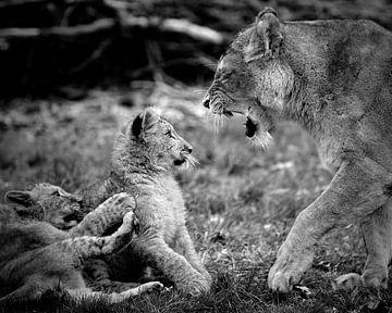 Afrikanisches Löwenjunges von Mutter beeindruckt von Patrick van Bakkum