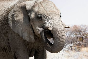 Gros plan d'un éléphant mangeant dans le parc national de Chobe, Botswana sur Tjeerd Kruse