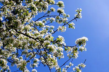 Weiße Frühlingsblüte gegen einen blauen Himmel. von Jessica Berendsen