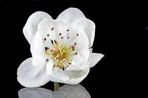 Bloeiende kersenbloesem close up