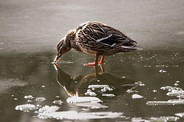 Eend op het ijs van Glenn Vlekke