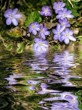 Dicht bij het water - lever floret - Anemone hepatica, van Christine Nöhmeier