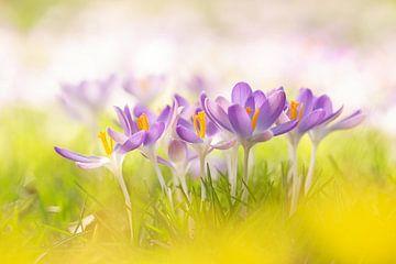 Kleurrijke krokussen van Aukje Ploeg