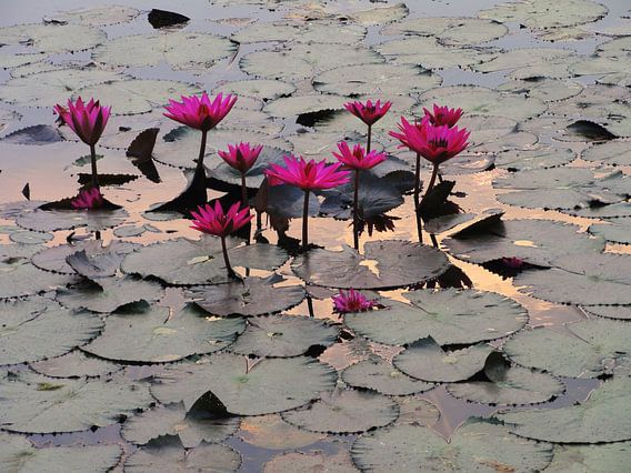 Fuchsia lotussen Angor Wat van Lotte Veldt