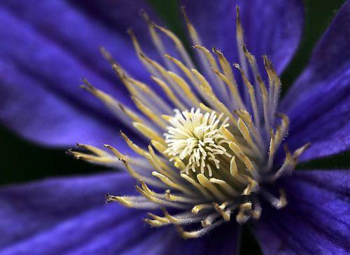 Clematis bloem van MSP Photographics