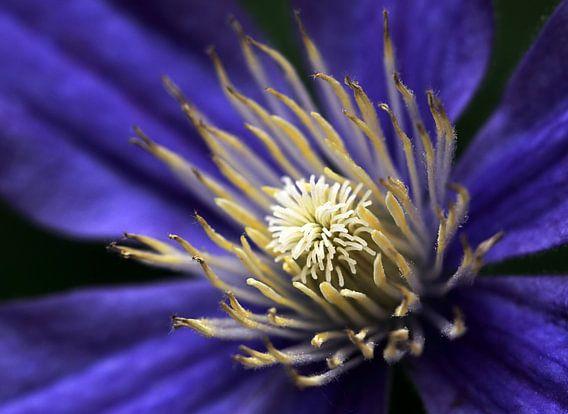 Clematis bloem