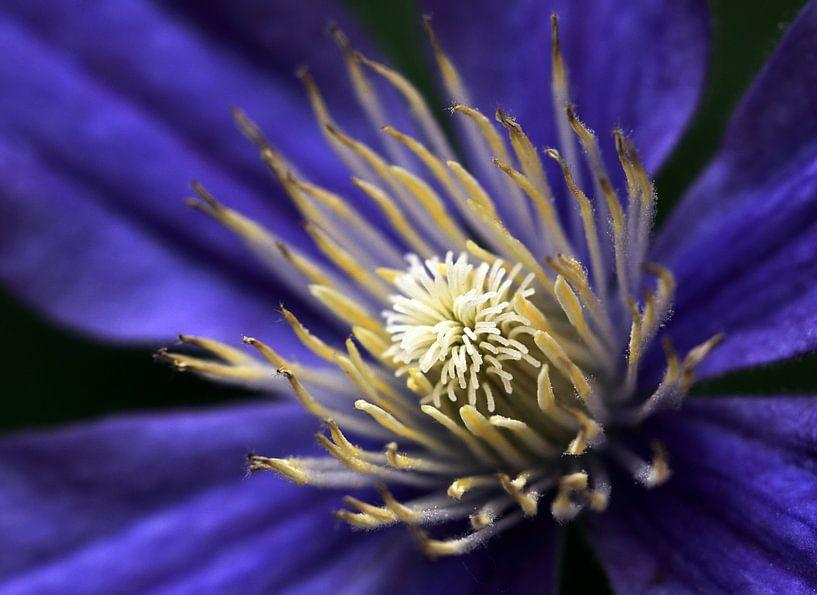 Clematis bloem van MSP Canvas