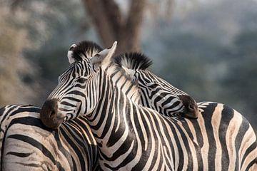 Kroelende Zebra's sur Riana Kooij