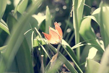 Klein oranje tulp van Valqueira van der Does