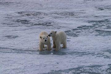 Welpen IJsbeer Spitsbergen van Merijn Loch