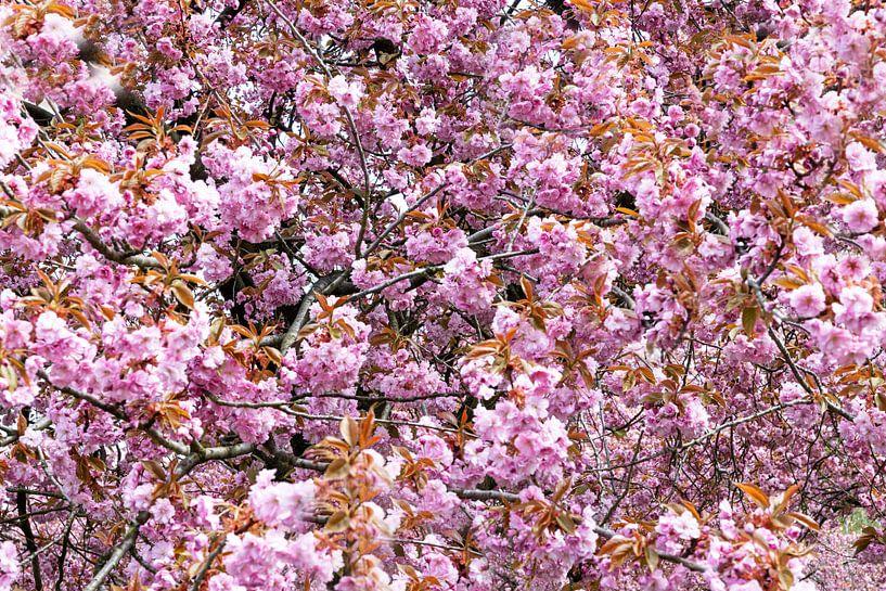 Fleur de cerisier sur Frank Herrmann