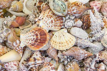 Coquilles de conque sur Achim Prill