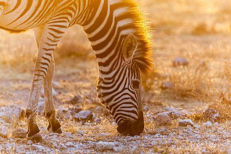 Grazende zebra in zonsondergang