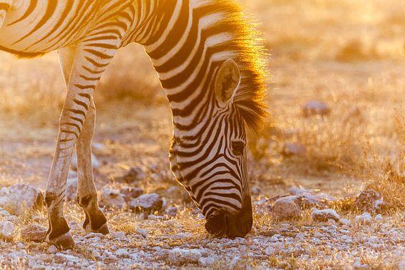 Grazende zebra in zonsondergang van Simone Janssen