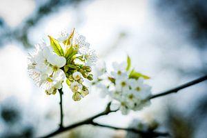Witte bloesems in de bomen