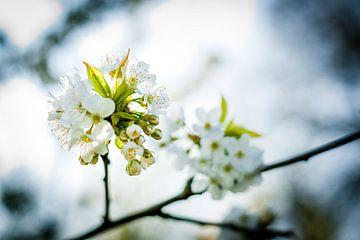 Weiße Fruchtblüten in den Bäumen von Fotografiecor .nl