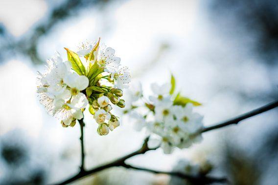 Witte bloesems in de bomen van Fotografiecor .nl