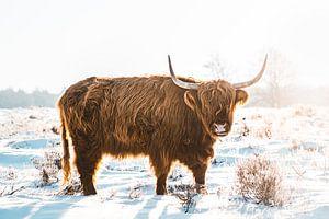 Schotse Hooglander in de sneeuw van Prints by Abigail Van Kooten