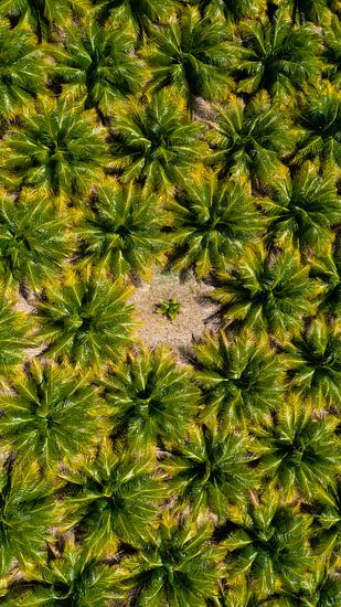 The little palmtree