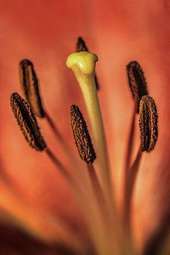 Makroaufnahme Lilie mit dominantem Stößel von Harrie Muis