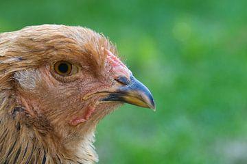 Huhn, das man in die Kameralinse schaut von J..M de Jong-Jansen
