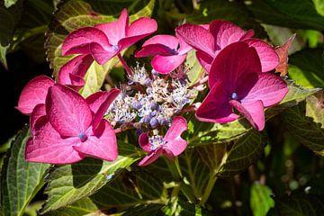 Gartenhortensien (Hydrangea macrophylla) von Alexander Ludwig