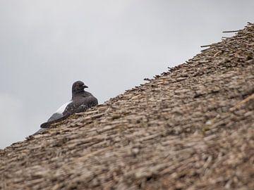 Duif op rieten dak von Rinke Velds