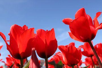 Rode tulpen & blauwe lucht van Renske van Schie