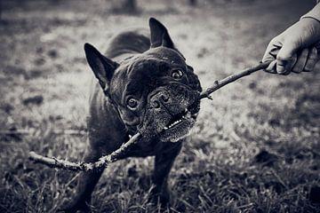 Französische Bulldogge von C. Nass