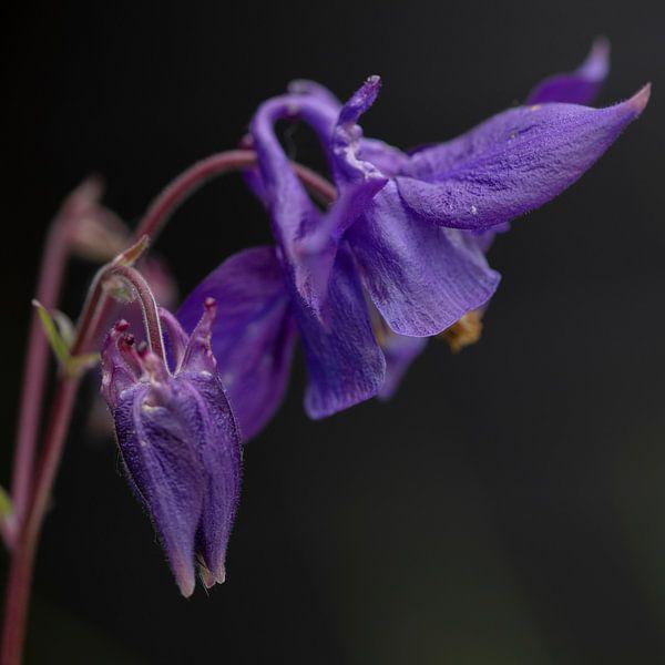macro paarse akelei van anne droogsma
