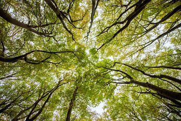 Opwaardse blik in een beukenbos met groene en bruine bladeren van Sjoerd van der Wal