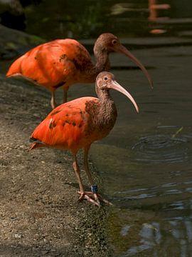 Roter Ibis : Tierpark der alten Hand von Loek Lobel