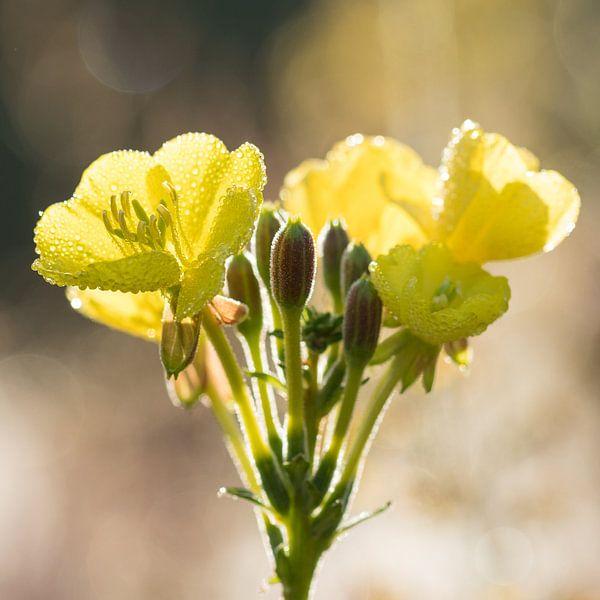 Bloemen | Teunisbloem in ochtenddauw van Servan Ott