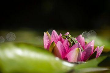 Groene kikker in bloem van een waterlelie