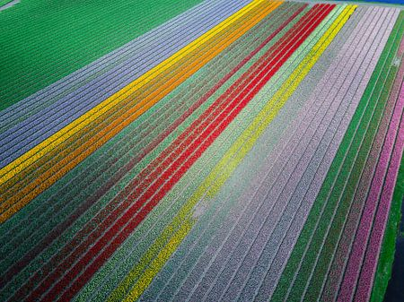 The most famous tulip fields of the Netherlands  van Droning Dutchman