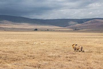 Leeuw op wandel in Tanzania van Mickéle Godderis