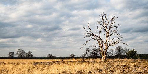 Een eenzame boom op de Veluwse heide