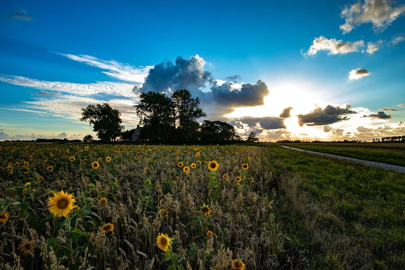 Zonnebloemen veld Friesland van Frank Slaghuis
