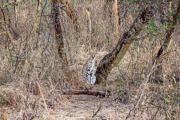 Serval Kat in Ngorongoro Crater van Mickéle Godderis